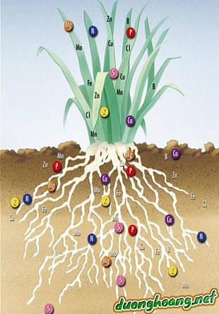 Sự quan trong, vai trò của các nguyên tố vi lượng, Mg (magiê), Cu (đồng), Fe (sắt), Mn (mangan), Zn (kẽm), B (bo), Mo (molypden), thành phần vi lượng.
