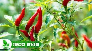 bệnh xoăn lá trên cây ớt - bênh trên cây ớt - xoắn lá ớt