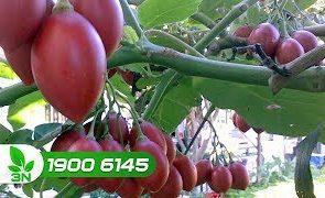 cách trị bệnh đốm đen trên lá cà chua- đốm trên quả cà chua