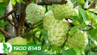 phòng tránh côn trùng chích hút trên cây quả na
