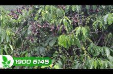 Bệnh đốm đen trên lá cây cà phê