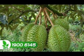 bệnh xoăn lá vàng rụng lá trên cây sầu riêng