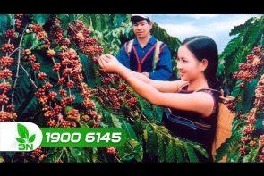 Cách bón phân và điều trị bệnh nấm cho cây cà phê