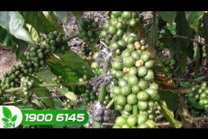 cách xác định tuyến trùng và rệp sáp gốc cho cây cà phê
