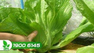 Khắc phục rệp muội gây hại rau cải