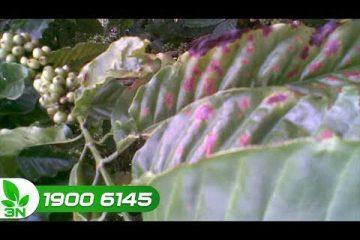 Thuốc điều trị bệnh xoăn lá, vàng đọt, lá bạc màu trên cây cà phê