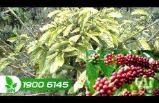 trị bệnh thối rễ trên cây cà phê