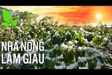 Xử lý khi cây cà phê nở hoa sớm